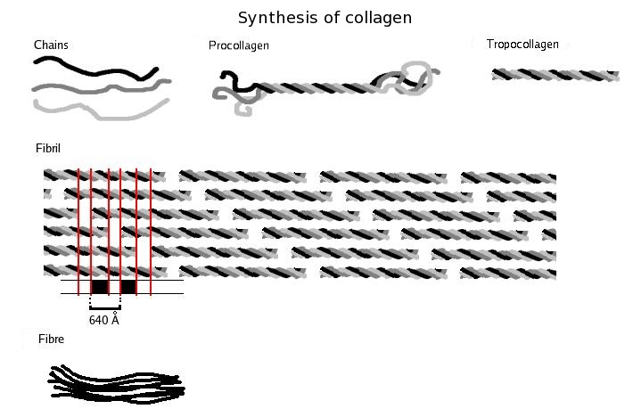 描述: http://upload.wikimedia.org/wikipedia/commons/2/2f/Collagen_biosynthesis_%28en%29.png